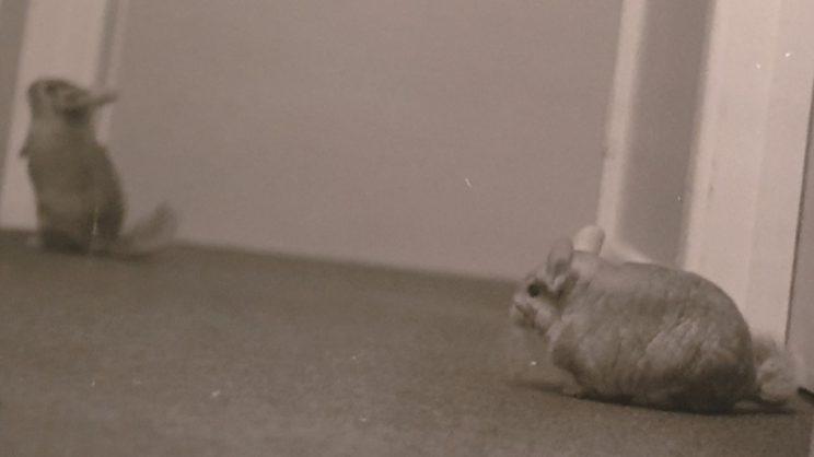 Pet chinchillas