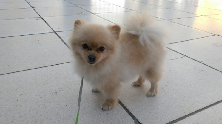 Pomeranian travelling