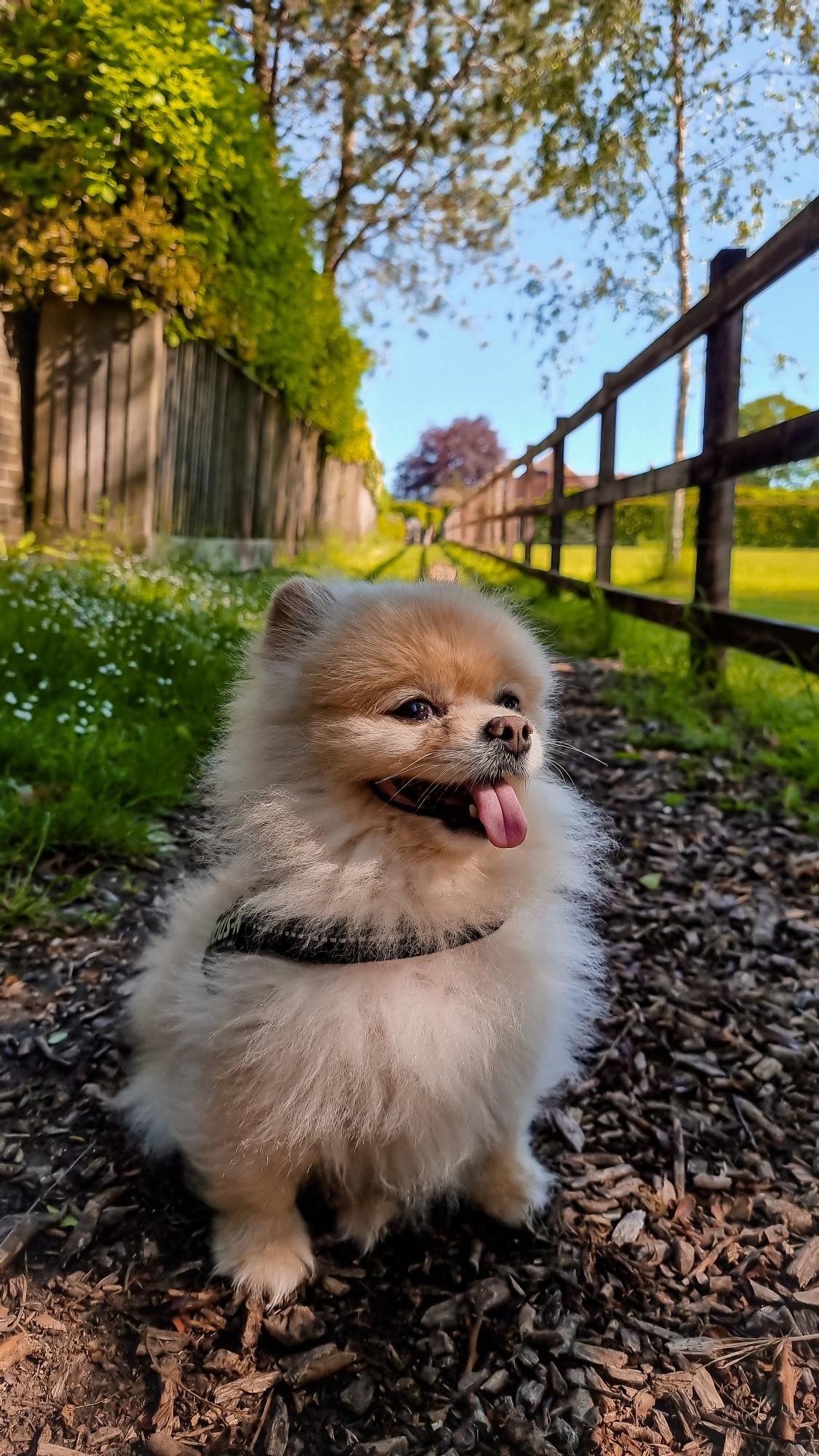 Pomeranian on a Backpack Adventure