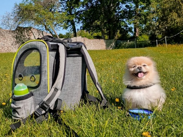 Pomeranian with Doggy Backpack